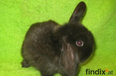 NHD, kleinste Widder Kaninchen, Pärchen abzugeben, 6 Wochen