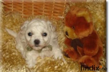 Nicht haarende Welpen/Hunde,- für Allergiker geeignet