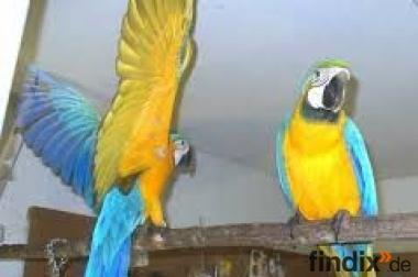 niedliche Blau und Gold Ara Papageien für Re-Zuhause