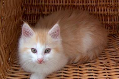 Norwegische Waldkatzenjungtiere sind für Umzug bereit