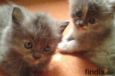 Nur noch  1 (von 6 )  verschmuste sibirisch-perser Kätzchen !