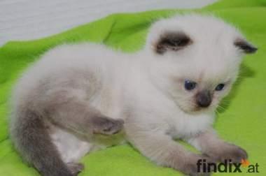 Nur noch 4 Bkh Kitten zu vergebn Schoko-PointT/ Blue- Point