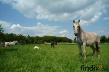 Offenstall Bornheim nähe Köln hat Plätze für Reit-/Rentnerpferde