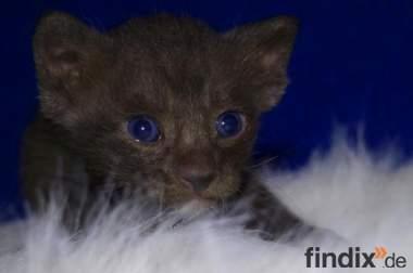 OKH Kitten