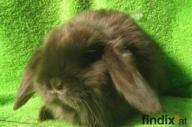 Osterhasen, NHD, Teddywidder, Kaninchen Anfang April abzugeben