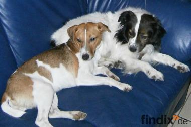 Parson Jack Russell Terrier Spitz mischlinge