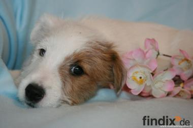Parson Jack Russell Terrier Welpen ab sofort zur Abgabe