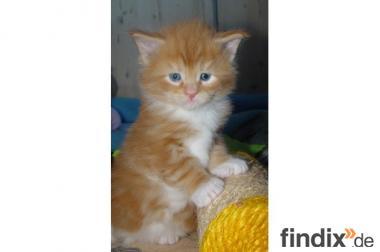 persian kitten zum Verkauf