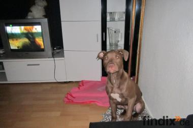 Pitbull Red Nose 5 Monate alt Zu Verkaufen