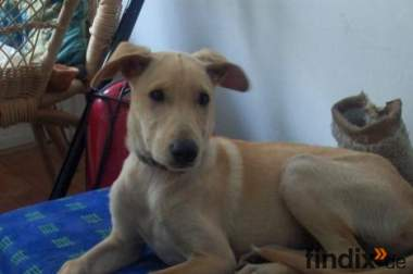 Podenco-Mix Welpe sucht Zuhause
