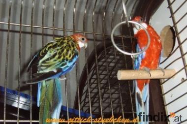 Pracht-Rosella-Paar- zuchtpaar