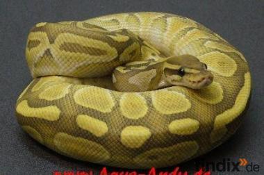 Python regius Ghost und Butterghost von 2011!!!