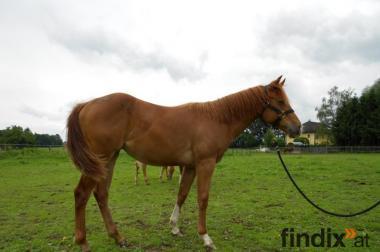 Quarter Horse sorrel Mare 2011 Mrs. Beauty Wonder