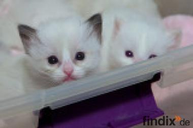 Ragdoll-Kätzchen für jetzt ein neues Zuhause.