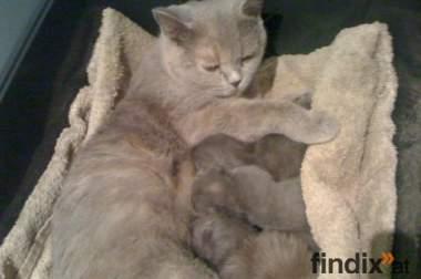 Reinrasige BKH-Kitten suchen neuen Dosenöffner
