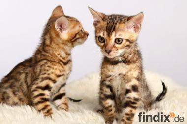 reinrassige Bengal Kitten mit exzellentem Stammbaum!