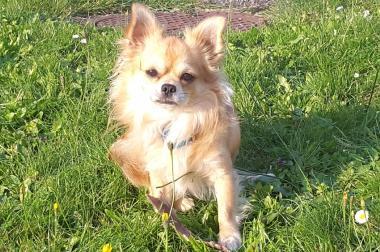Reinrassige Chihuahua zu verkaufen