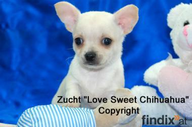 reinrassige Chihuahua Welpen (Lang- und Kurzhaar)