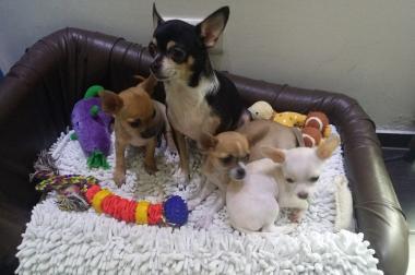 reinrassige Chihuahuawelpen suchen neues zu Hause