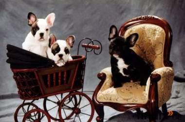 reinrassige Französisch Bulldogge Welpen