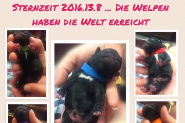 Reinrassige Mopswelpen geboren am 13.08.2016