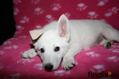 Reinrassige Weiße Schäferhund-Welpen mit Papiere