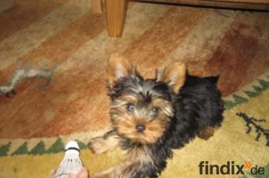 Reinrassiger Mini Yorkshire Terrier Welpe Zuckersüss
