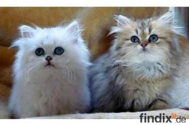 Rheingoldcat *s Perser, chinchilla,silver, golden, blue golden