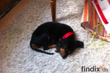 Rottweiler beagle mix 9 wochen