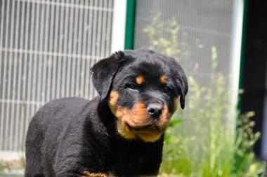 Rottweiler-Welpe, Hündin, 11 Wochen alt, mit ADRK-Papieren