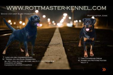 Rottweiler Welpen mit Papiere von VDH Champions