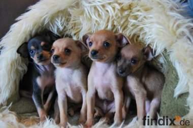 Russische mini toy terrier welpen