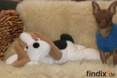 Russische Toy-terrier *Deckrüde.*