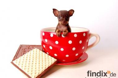 Russkiy Toy ( Russischer Toy Terrier) Welpen, sehr kleine Hunde