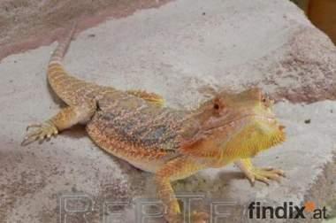 Sandfire Bartagamen Jungtiere und (sub)adultes Weibchen