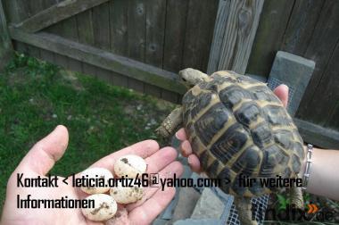 Schildkröten und fruchtbare Eier verfügbar