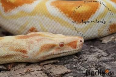 Schlangen zu verkaufen Boas, Pythons und Nattern!!!