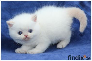Schnuckelige Exotic Kurzhaar Kitten in Colourpoint