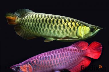 schöne Asian arowana Fische und Aquarien zu verkaufen.