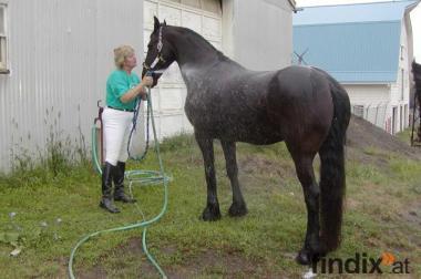 Schöne registrierte Friese Wallach Pferd
