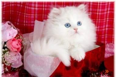 Schöne weiße Perser Kätzchen zu verkaufen (130 €)