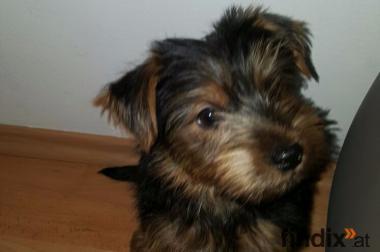 Schwarz braun mini yorkshire terrier