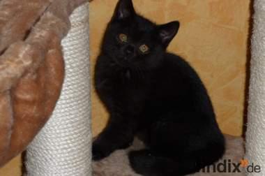 Schwarze BKH Katze mit Papieren sucht ein neues Zuhause