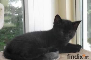 Schwarze BKH Kitten suchen Dauerschmuseplatz