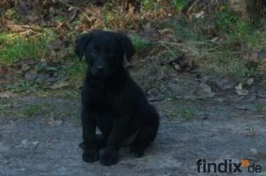 Schwarze Labrador Welpen, günstig abzugeben, 370€, reinrassig!
