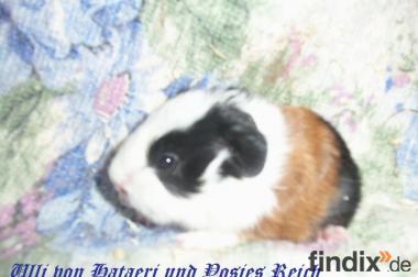 Schweizer Teddy Meerschweinchen