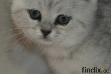 Scottish Fold und BKH Kitten in der Farbe Silver Shaded