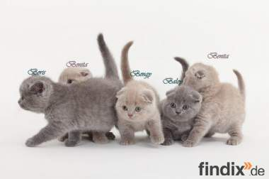 Scottish Fold und Scottisch Streit Kitten