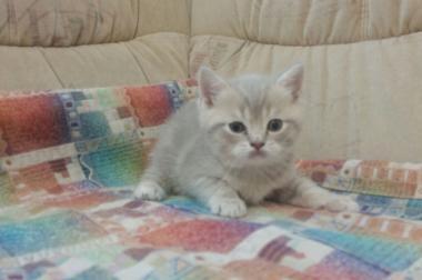 Scottish straigh Kitten suchen ein neues Zuhause