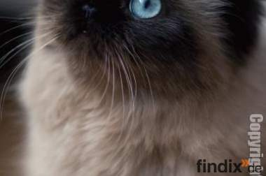 Seal Colour Point Kater